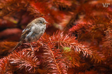 House Sparrow by Wild-Lweek