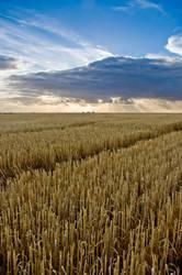 Rays of Wheat by MarkKenworthy
