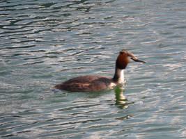 Duck by misselo83