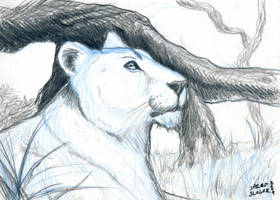 Sketch Card Lioness by AokiBengal