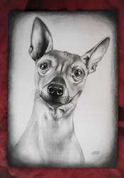 American hairless terrier by SymbolicArt95