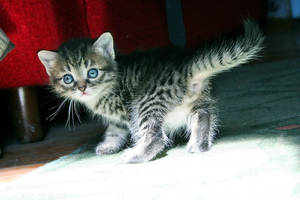 Cute Kitten 01 by gamebalance