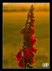 Foxglove in the Evening Sun by SnapperRod