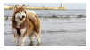 alaskan malamute stamp by blu-dog