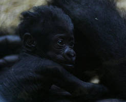 Baby gorilla by Parides