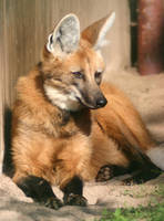Maned wolf by Parides