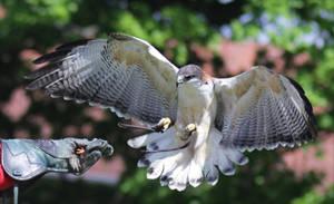 Variable Hawk by Parides