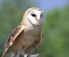 Barn Owl by Parides