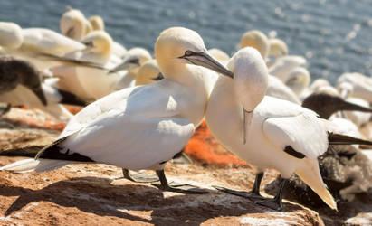Northern gannet by Parides