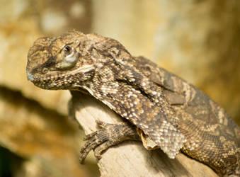 frilled-neck lizard by Parides