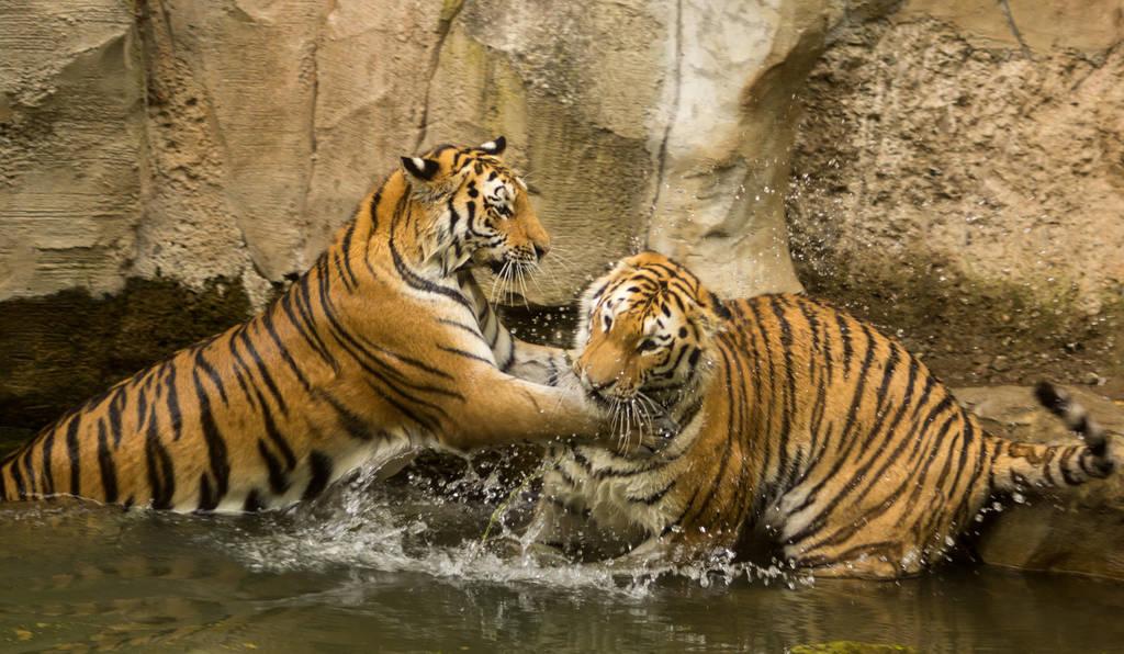 Siberian tiger by Parides