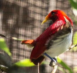 King bird-of-paradise by Parides