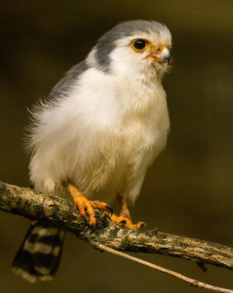 Pygmy falcon by Parides