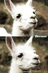 Llama by dernor