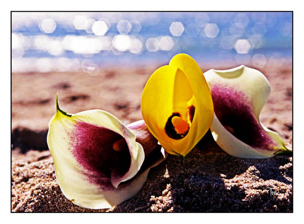 Lilies by the Shining Sea by TeaPhotography