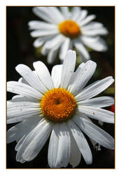 Happy Daisies by TeaPhotography
