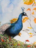 Peacock by Tantchen-Lulu