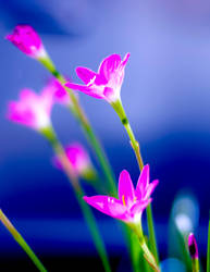 Flowers:  Pink 002 by letTheColorsRumble