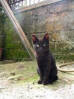 chinese cat by samandel