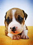Amstaff Puppy by MarinaCoric