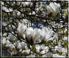 Magnolia by CaryAndFrankArts