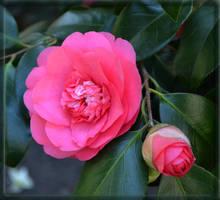 Pink by CaryAndFrankArts