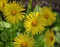 Spring Sunflower by CaryAndFrankArts