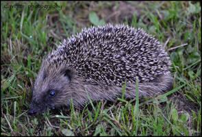 Hedgehog by CaryAndFrankArts