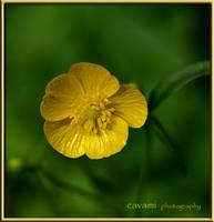 Yellow Beauty by CaryAndFrankArts