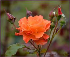 Rose by CaryAndFrankArts