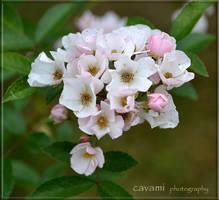Diamond Rose (Moschatahybride) by CaryAndFrankArts
