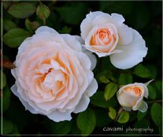 Roses by CaryAndFrankArts