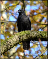Crow by CaryAndFrankArts