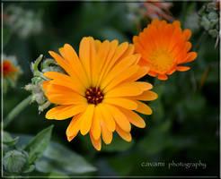 Calendula Officinalis by CaryAndFrankArts