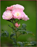 Bouquet Parfait Moschatahybride by CaryAndFrankArts