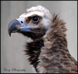 Vulture by CaryAndFrankArts