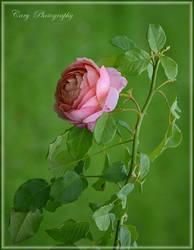 The Rose by CaryAndFrankArts