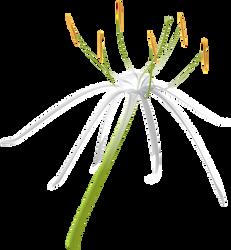 Spider Lily - Hymenocallis latifolia by UmbraQuies