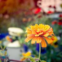 Orange by LashelleValentine