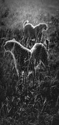 Cheetahs On Parole by batmantoo