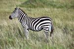 One Zebra by batmantoo