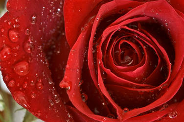 red rose close up water drops by yamiyalo