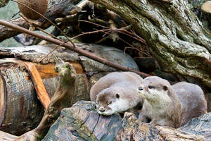 Oriental Small-clawed Otter by duncan-blues