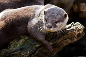 Otter Portrait by duncan-blues