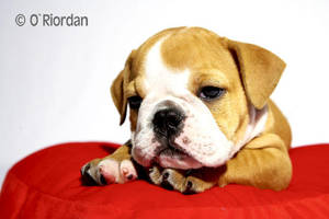 Nigel English Bulldog 9 by Seanoriordan