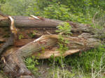 old fallen tree 1 by AzurylipfesStock