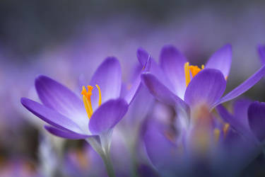 Crocuses by Andruhastepanov