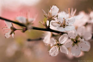 Hawthorn Blossom by Little-Miss-Splendid