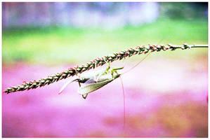 Cricket by aare