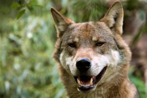 Wolf by Dagonator